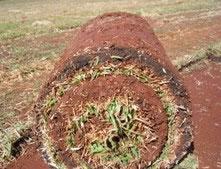Figura 3. Aspecto do tapete de grama produzido com lodo de esgoto.