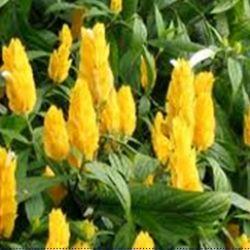 Figura 14 – Camarão amarelo (Pachystachys lutea)