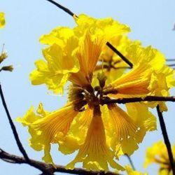 Figura 16 – Ipê amarelo (Tabebuia crysotricha)
