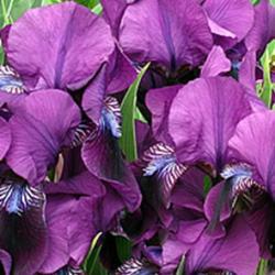 Figura 6 – Íris (Iris germanica)